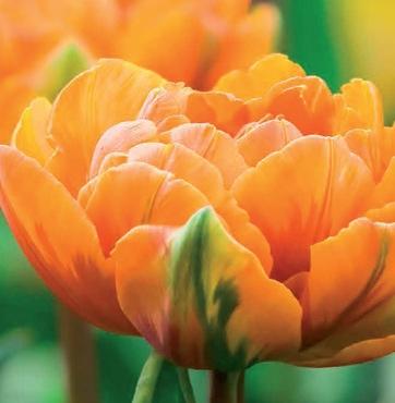 Tulp Orange Princess aanbieding dubbele oranje tulp